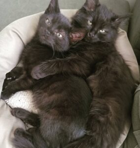 two cute black kittens cuddling